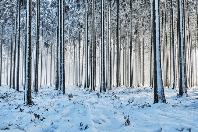 Snow-covered spruce forest, Lindenberg, Horben, Canton of Aargau, Switzerland, Europe