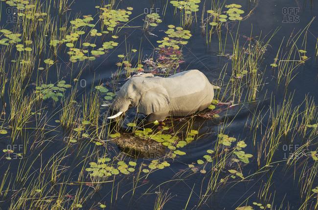African Elephant (Loxodonta africana), bull in a freshwater marsh, aerial view, Okavango Delta, Botswana, Africa