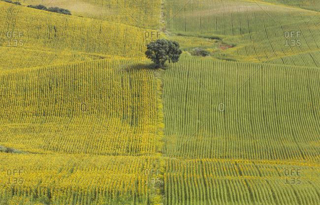 Sunflowers (Helianthus annuus), fields with solitary holm oak (Quercus ilex), cultivations near Arcos de la Frontera, Cadiz province, Andalusia, Spain, Europe