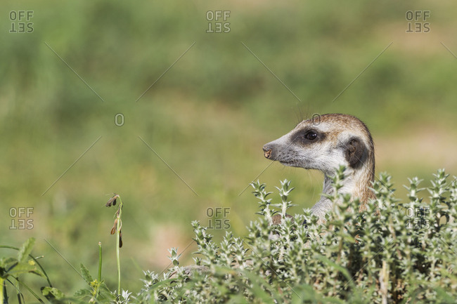 Suricate (Suricata suricatta), guard on the lookout, rainy season with green surroundings, Kalahari Desert, Kgalagadi Transfrontier Park, South Africa, Africa