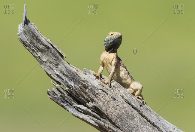Ground Agama (Agama aculeata), breeding male, on low log, Kalahari Desert, Kgalagadi Transfrontier Park, South Africa, Africa