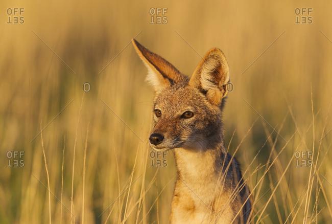 Black-backed Jackal (Canis mesomelas), grassland, portrait, Kalahari Desert, Kgalagadi Transfrontier Park, South Africa, Africa