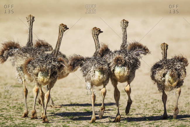 Ostrich (Struthio camelus), five chicks, Kalahari Desert, Kgalagadi Transfrontier Park, South Africa, Africa
