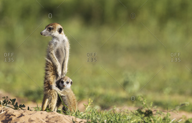 Suricate (Suricata suricatta), adult with young on the lookout, during the rainy season in green surroundings, Kalahari Desert, Kgalagadi Transfrontier Park, South Africa, Africa