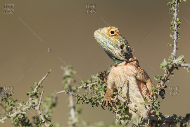 Ground Agama (Agama aculeata), male, climbing on low shrub, Kalahari Desert, Kgalagadi Transfrontier Park, South Africa, Africa