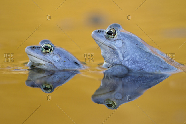 Moor Frogs (Rana arvalis), males, courtship, Middle Elbe, Saxony-Anhalt, Germany, Europe