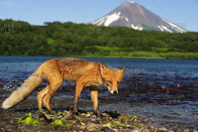 Red Fox (Vulpes vulpes) on the lakeshore, Ilinskaya volcano at the back, Kurile Lake, Kamchatka Peninsula, Russia, Europe