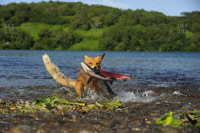 Red Fox (Vulpes vulpes) with a caught salmon, Kurile Lake, Kamchatka Peninsula, Russia, Europe