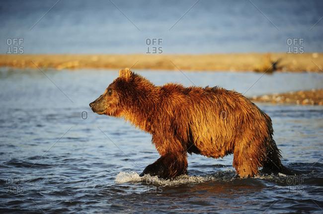Brown Bear (Ursus arctos) hunting for salmon in the water, Kurile Lake, Kamchatka Peninsula, Russia, Europe