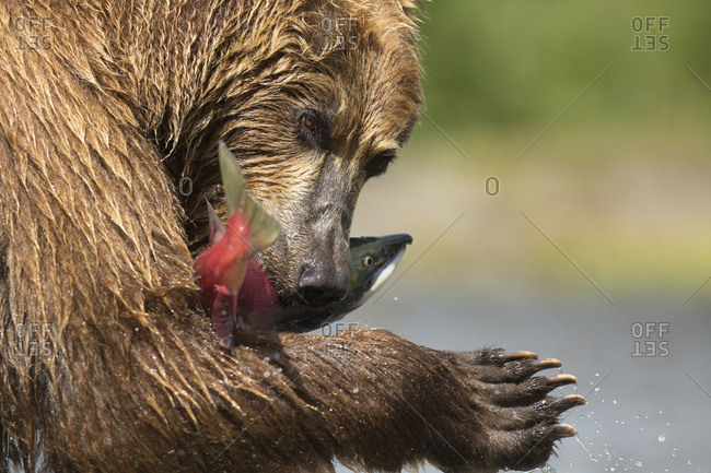 Brown bear (Ursus arctos), with Sockeye Salmon (Oncorhynchus nerka), Kamchatka, Russia, Europe