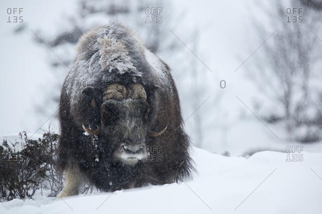 "Muskox (Ovibos moschatus), Dovrefjella€""Sunndalsfjella National Park, Norway, Europe"