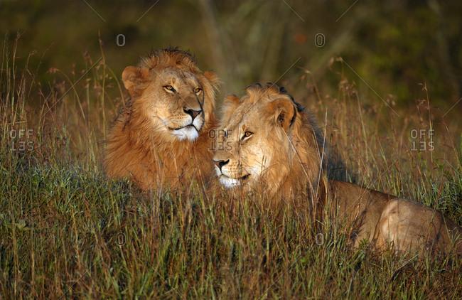 Two wet, male lions (Panthera leo) at sunrise, Maasai Mara National Reserve, Narok County, Kenya, Africa