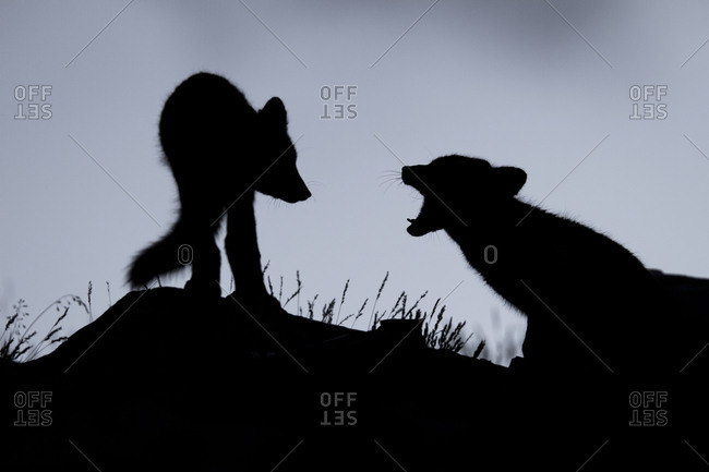 Arctic foxes (Vulpes lagopus), puppies in the Fell, silhouette, Dovrefjell, Norway, Europe