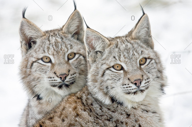 Two young lynxes (Lynx lynx), portrait, captive, Germany, Europe