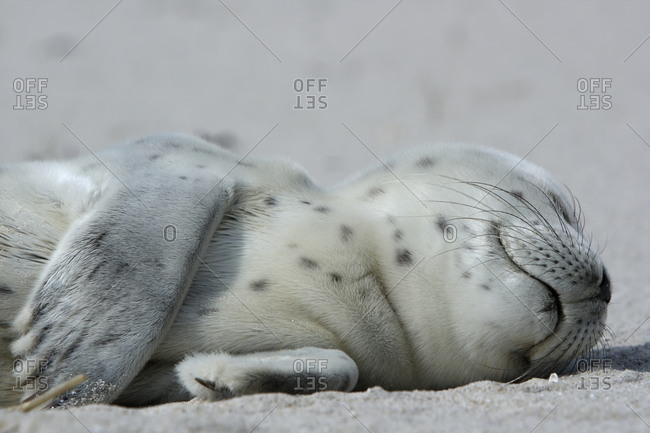 Harbor Seal (Phoca vitulina), pup, East Frisian Islands, East Frisia, Lower Saxony, Germany, Europe
