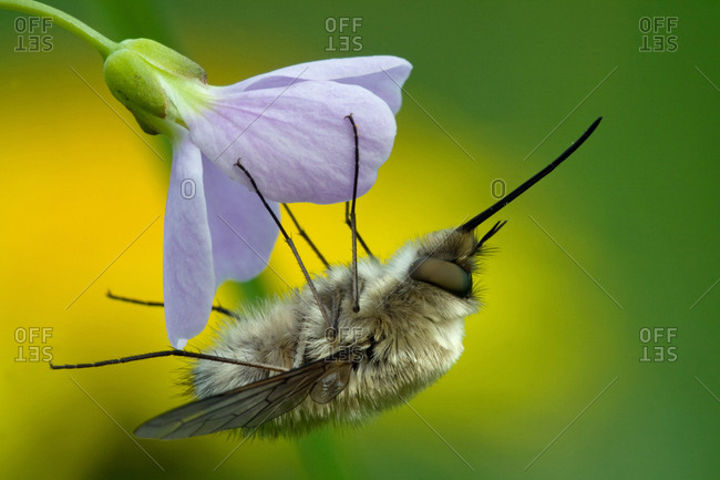 Bee Fly (Bombyliidae) on Cuckoo Flower, North Hesse, Hesse, Germany, Europe