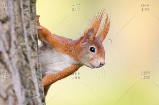 Eurasian Red Squirrel (Sciurus vulgaris), half-hidden behind a tree trunk, North Hesse, Hesse, Germany, Europe