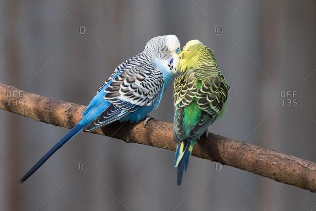 Budgerigars (Melopsittacus undulatus) kissing, captive