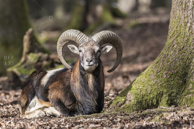 European mouflon (Ovis orientalis musimon), resting, Vulkaneifel, Eifel, Rhineland-Palatinate, Germany, Europe
