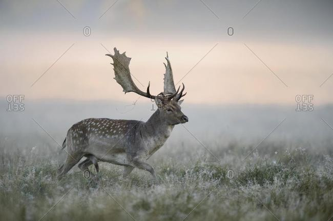 Fallow deer (Dama dama) buck, mist, morning light, Zealand, Denmark, Europe