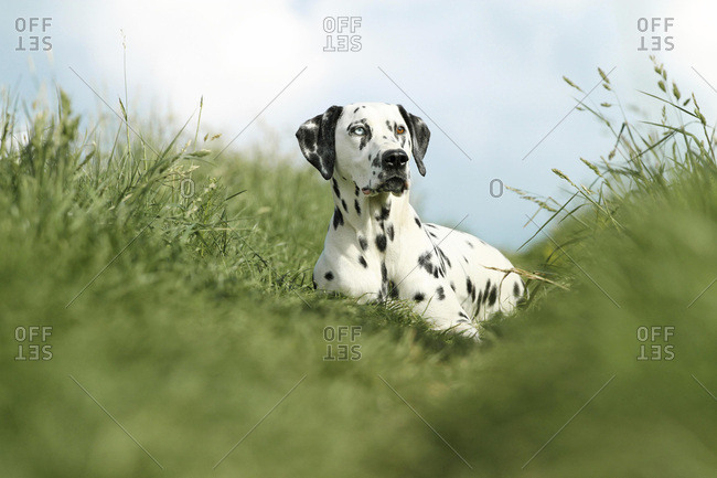 Dalmatian with one blue eye, in a meadow, different colored eyes, heterochromia iridum, Germany, Europe