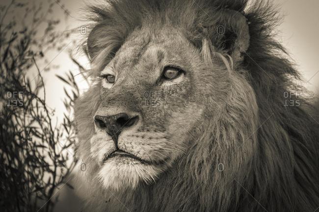 Lion (Panthera leo), adult male with a long mane, Okavango Delta, Botswana, Africa