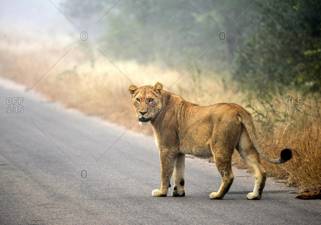 Lion (Panthera leo) on a tarmac road, Kruger National Park, South Africa, Africa