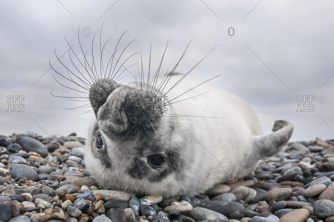 Grey seal (Halichoerus grypus), young, howler, Heligoland, Schleswig-Holstein, Germany, Europe