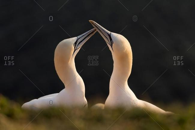 Northern Gannet (Sula bassana), courtship, breeding season, Schleswig-Holstein, Heligoland, Germany, Europe