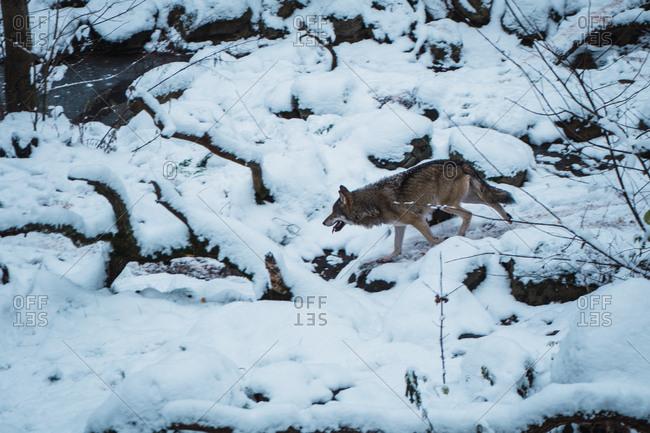Wolf running on snow