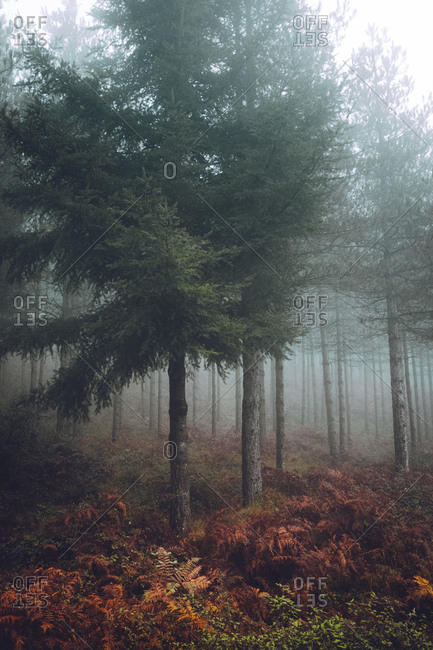 Bunch of ferns growing near conifers on foggy autumn day