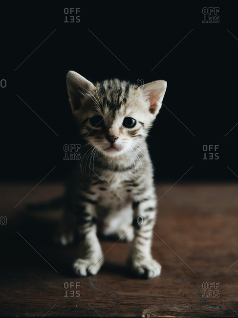 Small striped kitten