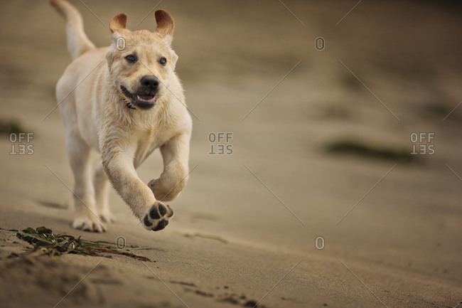 Dog runs on the beach.