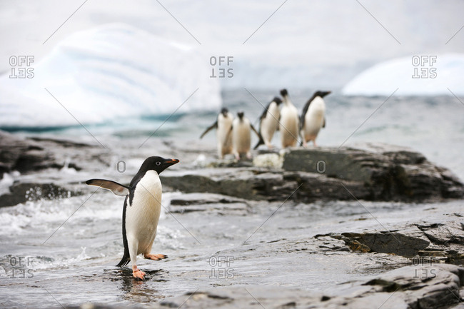 Penguin looking over longingly at a group of penguins he wishes to join