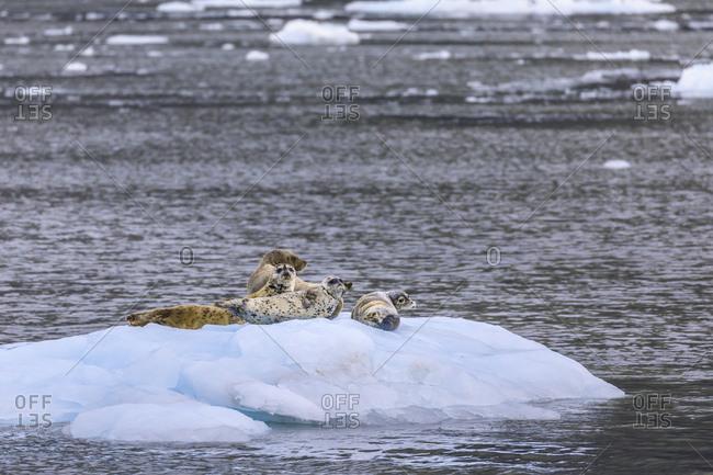 Harbour Seals (Phoca Vitulina) on an iceberg, Aialik Glacier, Harding Icefield, Kenai Fjords National Park, Alaska, United States of America, North America