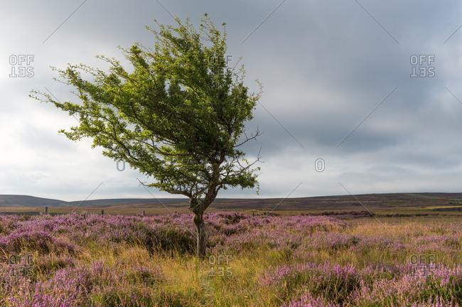 Lone tree amongst the heather, Yorkshire Moors, Yorkshire, England, United Kingdom, Europe