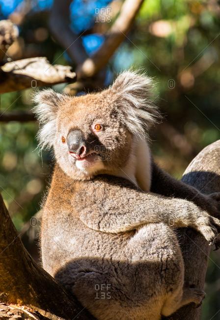 Wild Koala in the trees on Kangaroo Island. South Australia, Australia, Pacific