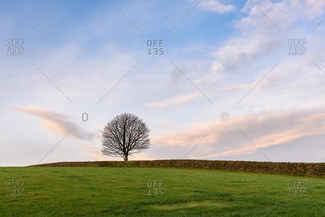 Lone tree in lush field
