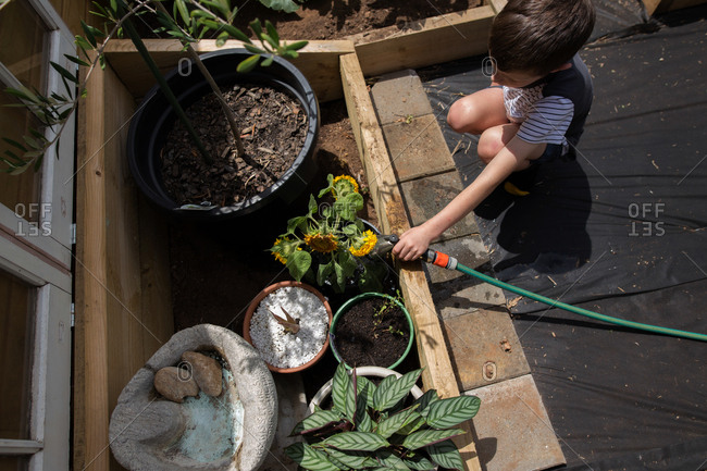 High angle view of young boy watering young sunflowers in a garden