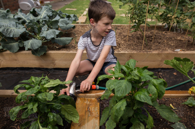 Profile of young boy watering basil plants in a garden
