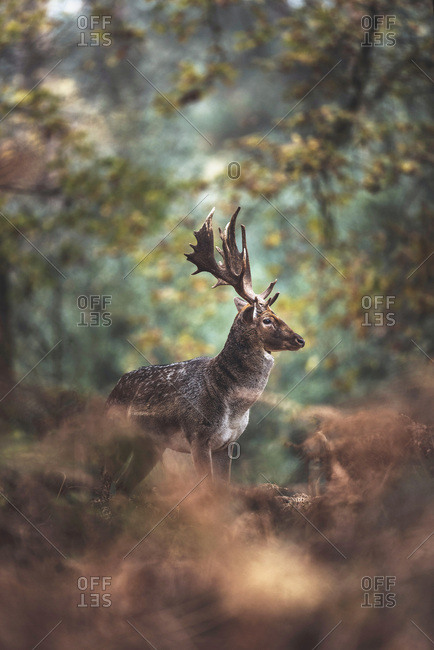 Fallow deer buck with big antlers in autumn forest. North Rhine-Westphalia, Germany