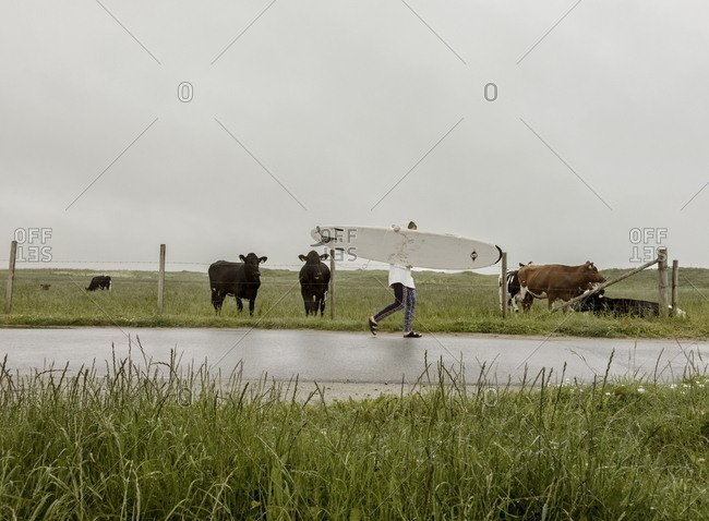 Borestrande Beach, Norway - June 18, 2017: Person carrying surfboard while walking on country road next to cows in pasture