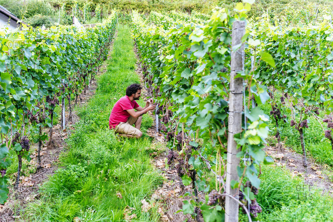 Germany- Gengenbach- man in vineyard looking at grapes from the vine