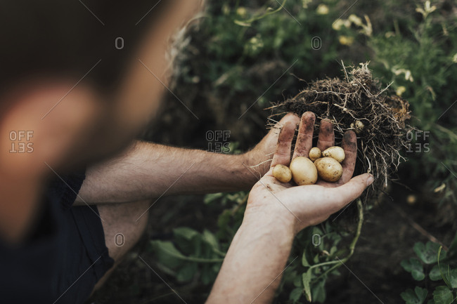 Digging up potatoes