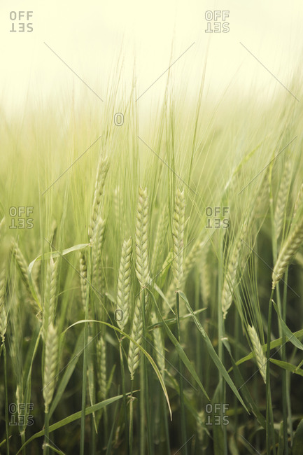 Wheat field, close-up