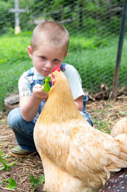 Boy feeding golden campine hen