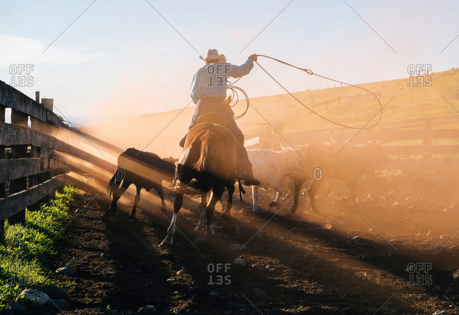 Cowboy on horse lassoing bull, Enterprise, Oregon, United States, North America