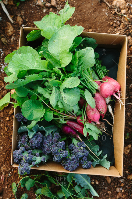 Box of freshly picked radish and purple sprouting broccoli