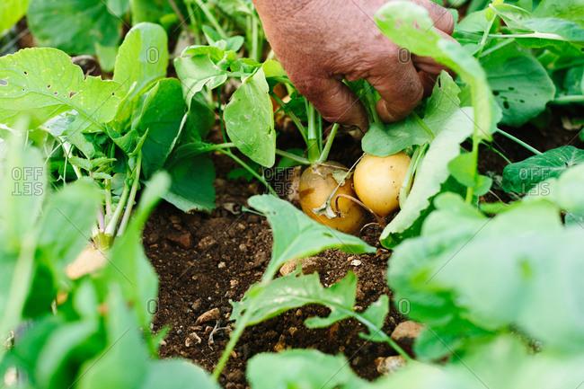 Man picking potatoes from ground