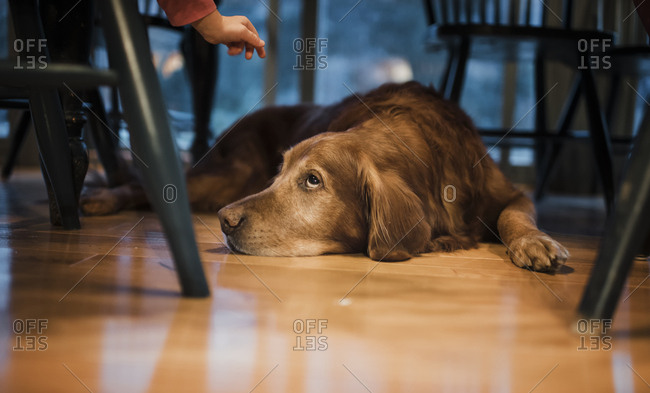 Close-up of dog lying on hardwood floor at home
